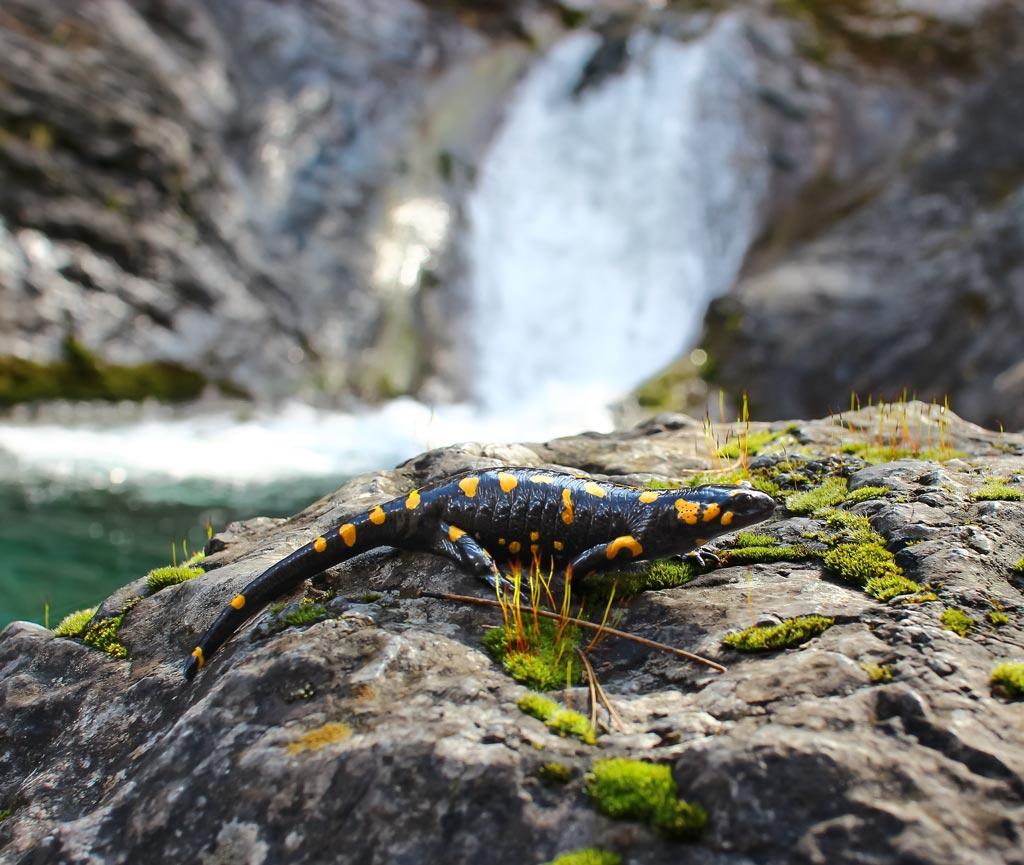 саламандра - хозяйка горы
