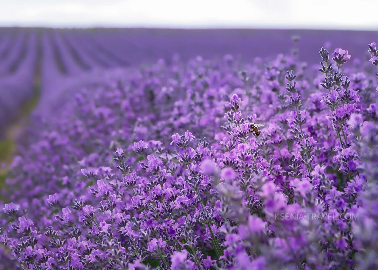 Цветение лааванды, Греция, полуостров Халкидики