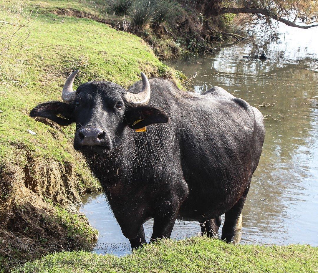 буйволы на озере Керкини